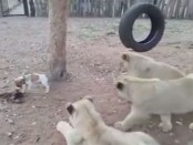 leones-perro-20160923103341393983