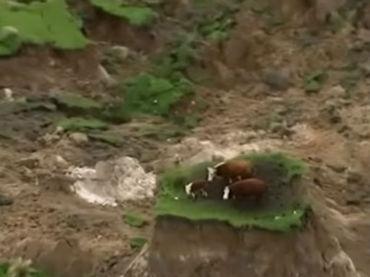 Tres vacas quedaron atrapadas por el terremoto de Nueva ...